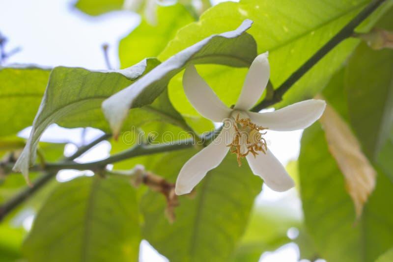 Limone di fioritura, fiori dell'albero di agrume Fiori bianchi con gli stami gialli su un limone, mandarino dell'agrume della cal fotografie stock libere da diritti