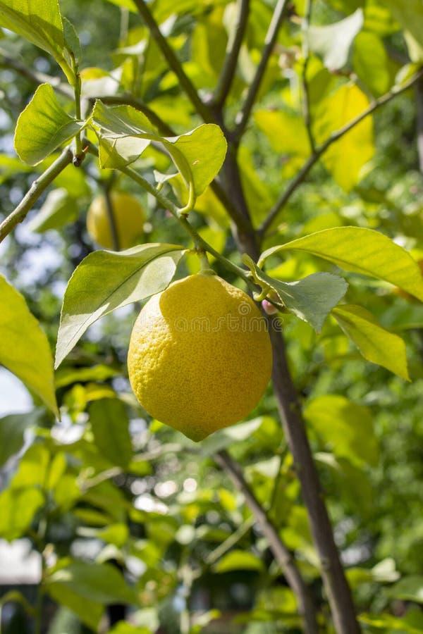Limone giallo maturo dell'agrume che appende su un ramo con le foglie verdi Frutta matura di aromatico acido naturale fresco del  fotografie stock