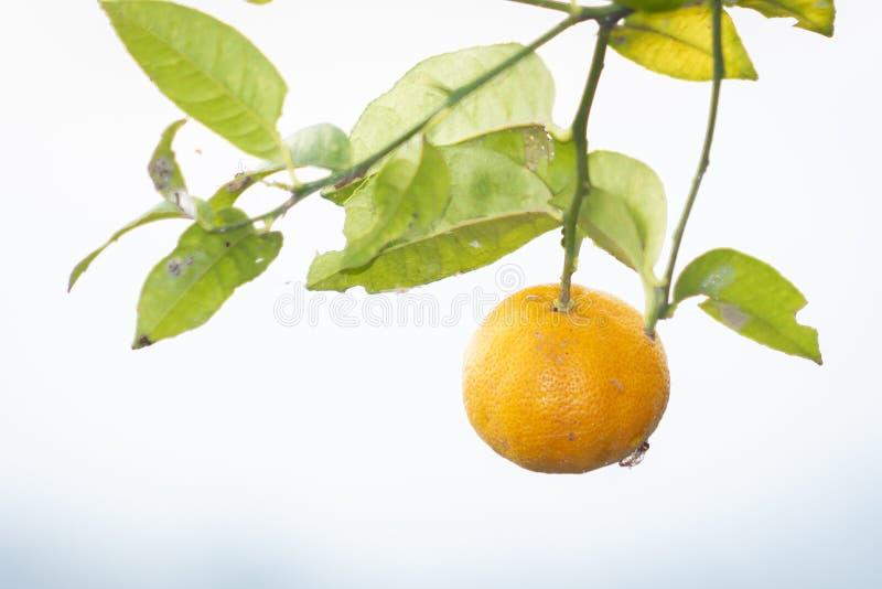 Limone giallo sull'albero nel giardino fotografia stock