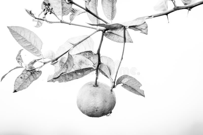 Limone giallo sull'albero nel giardino immagini stock libere da diritti