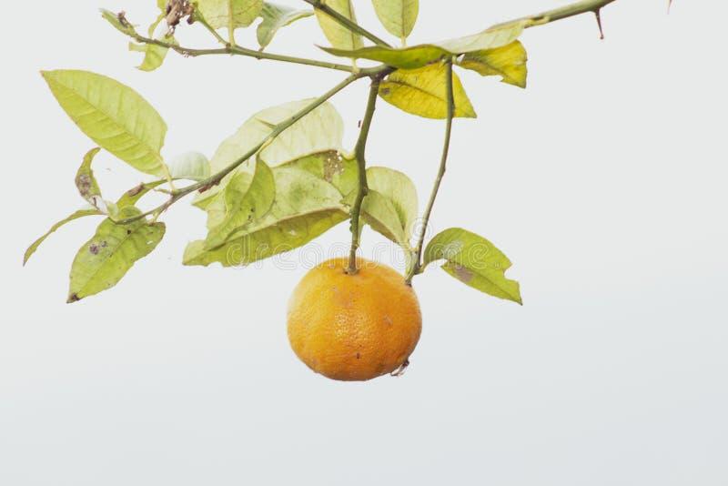 Limone giallo sull'albero nel giardino immagini stock