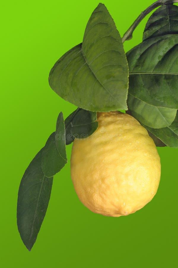 Limone maturo immagini stock libere da diritti