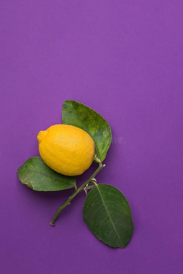 Limone organico maturo giallo luminoso sul ramo con le foglie verdi su fondo ultravioletto d'avanguardia Imperfezioni visibili immagini stock