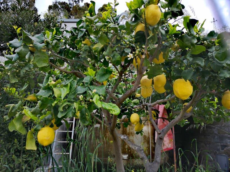 Limone in un giardino con la scala fotografia stock