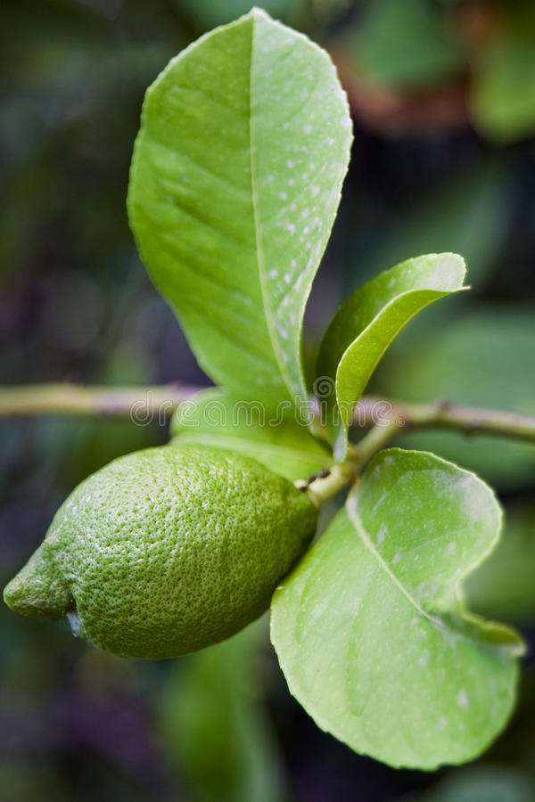 Limone verde su un ramo fotografia stock libera da diritti