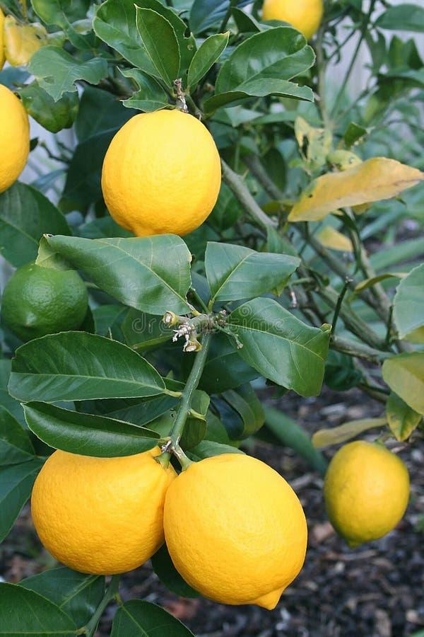 Limones amarillos brillantes de Meyer imagen de archivo