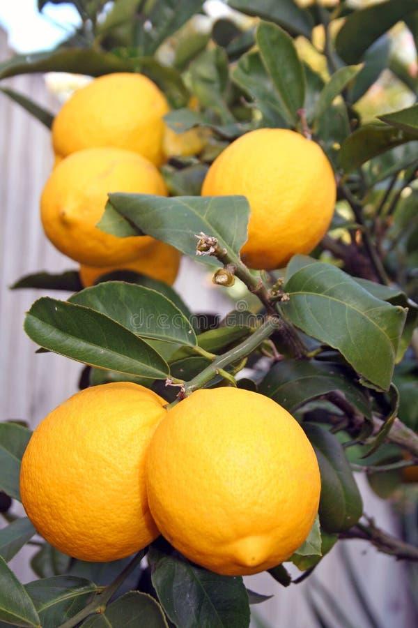 Limones amarillos brillantes de Meyer foto de archivo