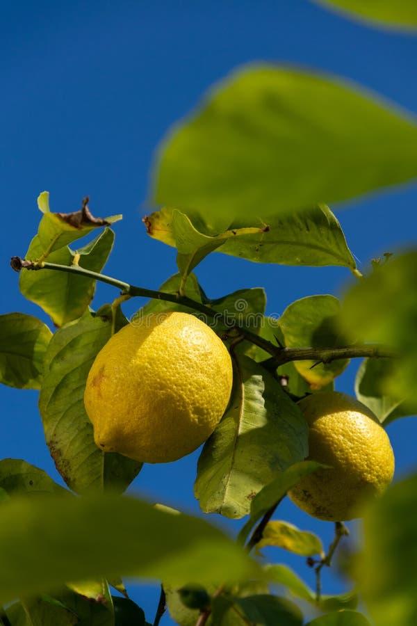 Limones del ` s Eureka de Garey en una rama foto de archivo