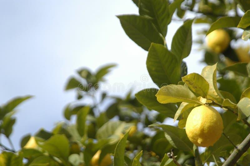 Download Limoni fotografia stock. Immagine di frutta, pioggia - 21550140
