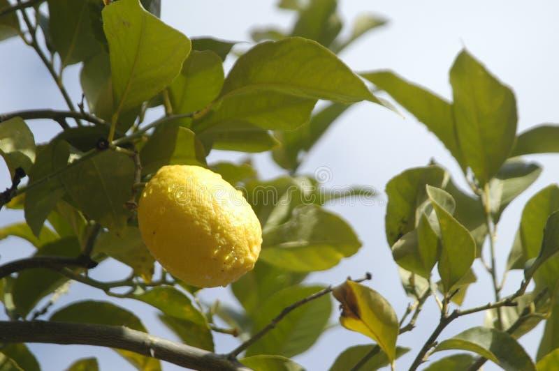 Download Limoni immagine stock. Immagine di goccia, spremuta, grezzo - 21550149