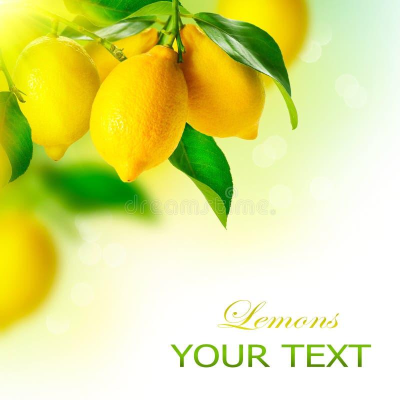Limoni che appendono su un limone fotografia stock libera da diritti