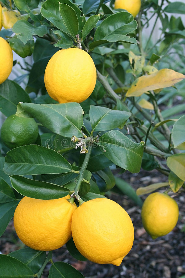 Limoni gialli luminosi del Meyer immagine stock