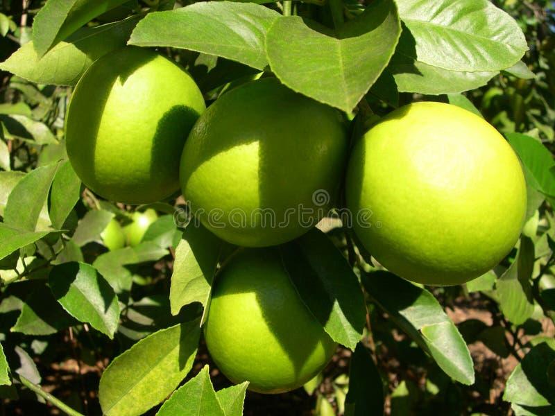 Limoni nel sole immagini stock libere da diritti
