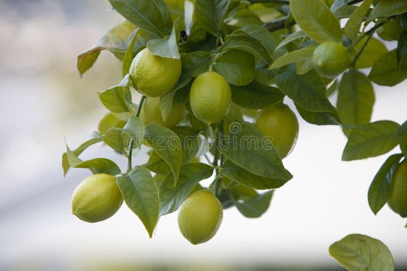 Limoni su un albero immagine stock