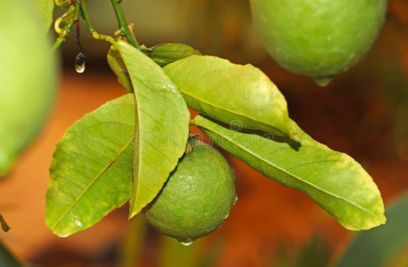 Limoni verdi sull'albero fotografie stock libere da diritti