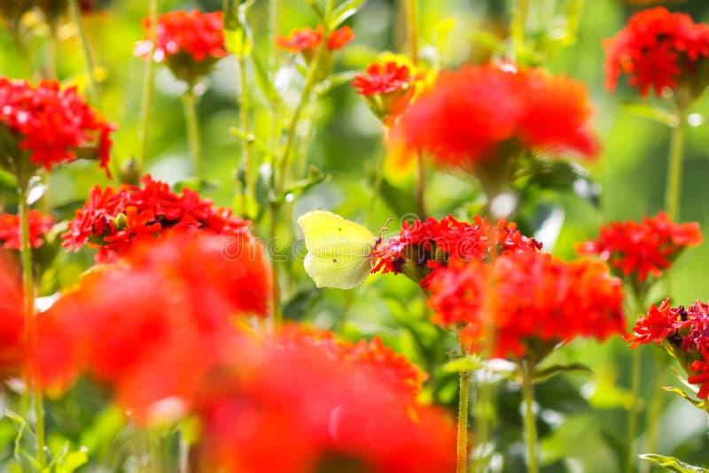 Limonita de la mariposa, azufre común, rhamni de Gonepteryx en la planta floreciente del chalcedonica de Lychnis al aire libre fotos de archivo libres de regalías