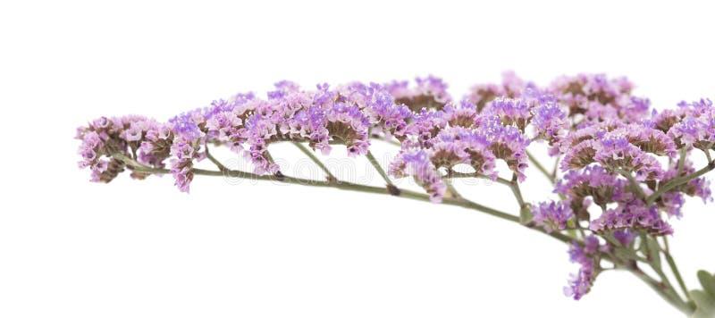Limonium pectinatum stockbild