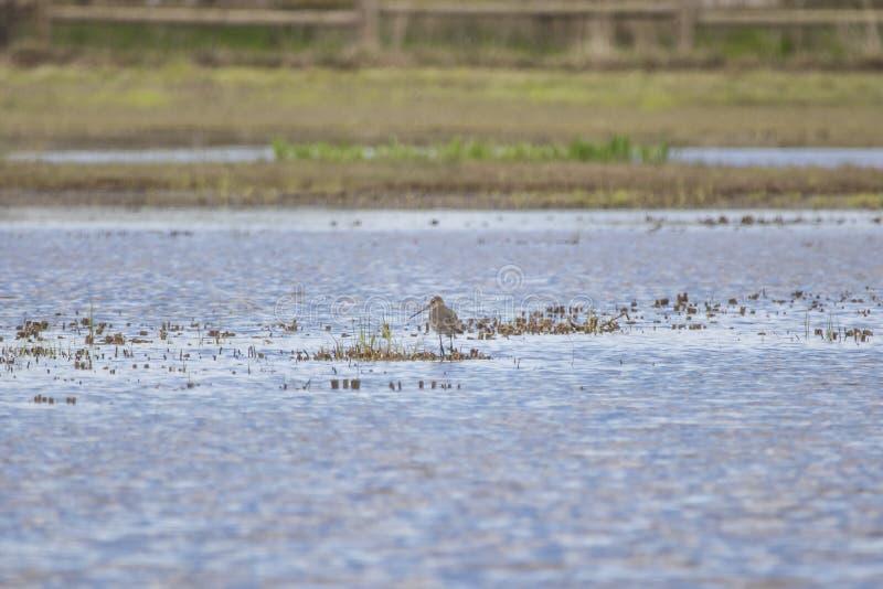 Limosa de cauda negra do limosa da limosa no parque natural dos pântanos do ¡ n de Ampurdà imagem de stock