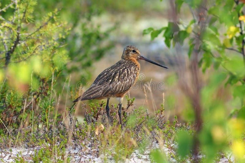 Limosalapponica Man av ett fågelslut upp royaltyfri fotografi