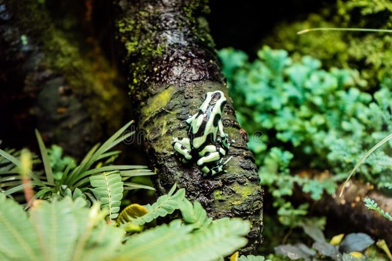 Limosus Atelopus лягушки арлекина Limosa сидя на голове дерева вверх стоковые изображения rf