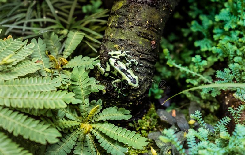 Limosus Atelopus лягушки арлекина Limosa сидя на голове дерева вниз стоковая фотография rf