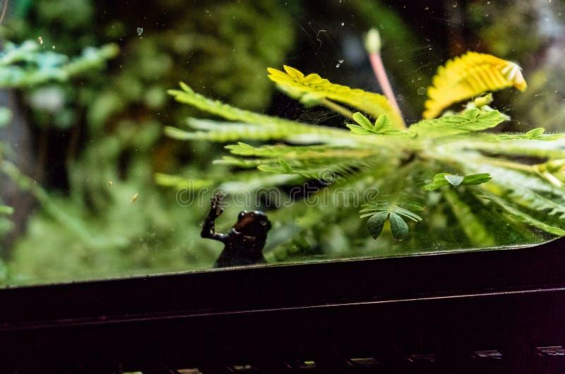 Limosus Atelopus лягушки арлекина Limosa с его рукой на стекле стоковое изображение rf