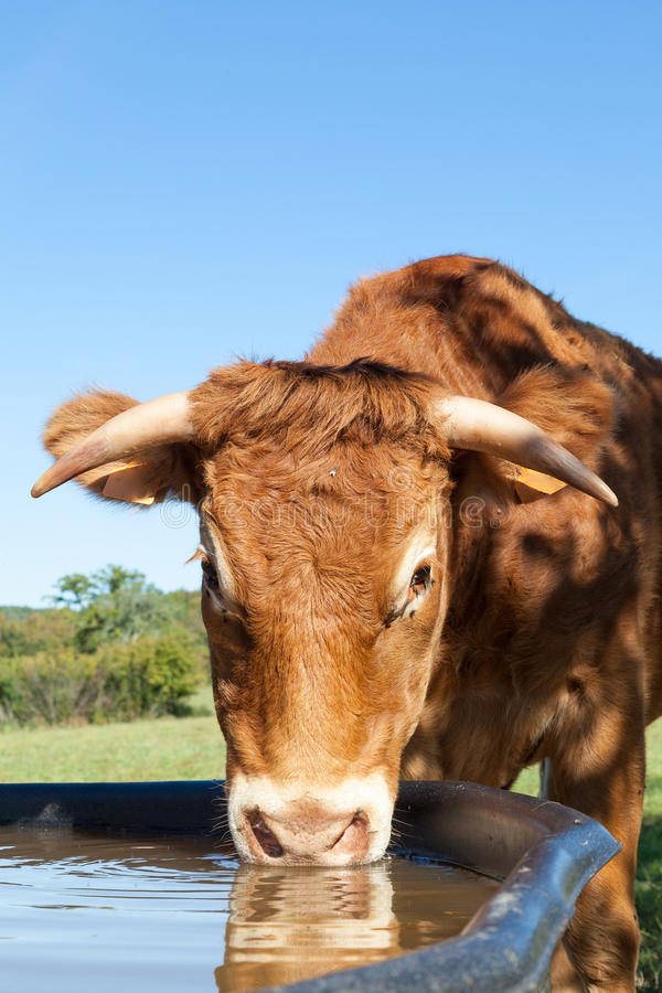 Limousin beef cow with long horns drinking water at a tank, close up head stock photo