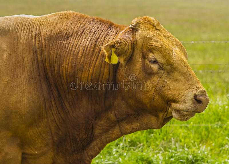 Download A Limousin Bull stock photo. Image of leather, guernsey - 31893916