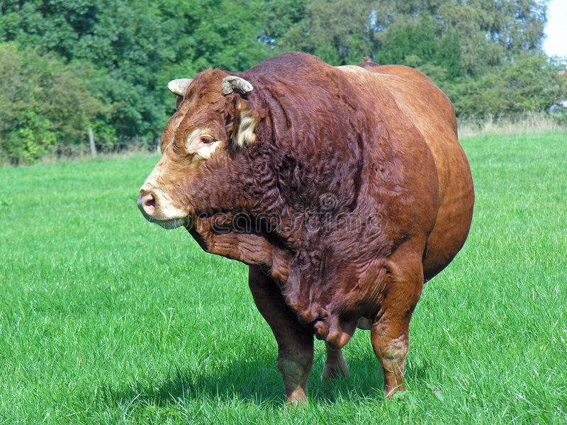 Limousin Bull In Field stock image