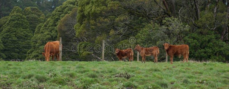 Limousin bydło w padoku, Otway, Wiktoria, Australia, Augriculture, zwierzęta gospodarskie, krowy, łydki obrazy royalty free