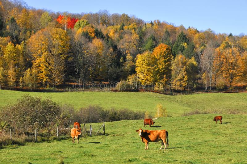 Limousin cattle are a breed of highly muscled beef. Cattle originating from the Limousin and Marche regions of France. Bromont Eastern Township Quebec Canada stock images