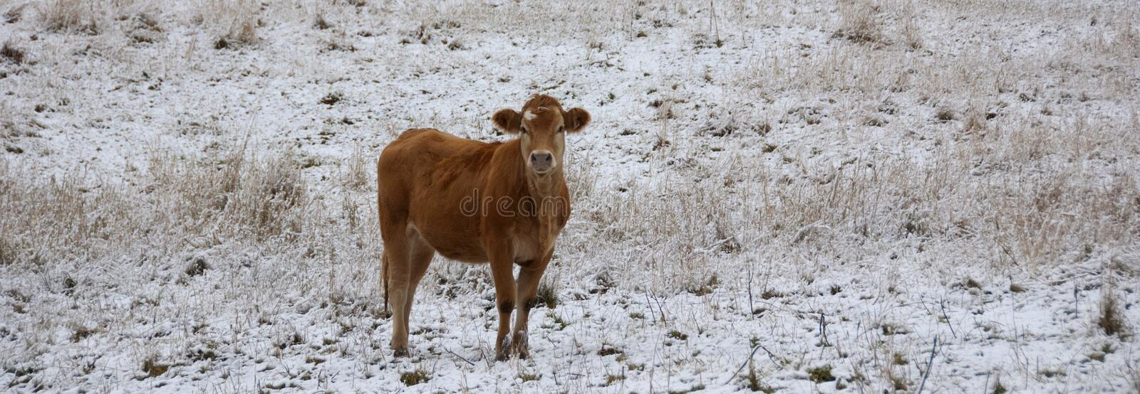 Limousin cattle  in winter Quebec Canada. Limousin cattle are a breed of highly muscled beef cattle originating from the Limousin and Marche regions of France stock photography