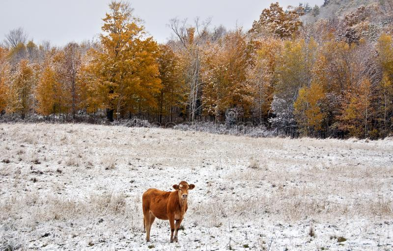 Limousin cattle  in winter Quebec Canada. Limousin cattle are a breed of highly muscled beef cattle originating from the Limousin and Marche regions of France royalty free stock photography