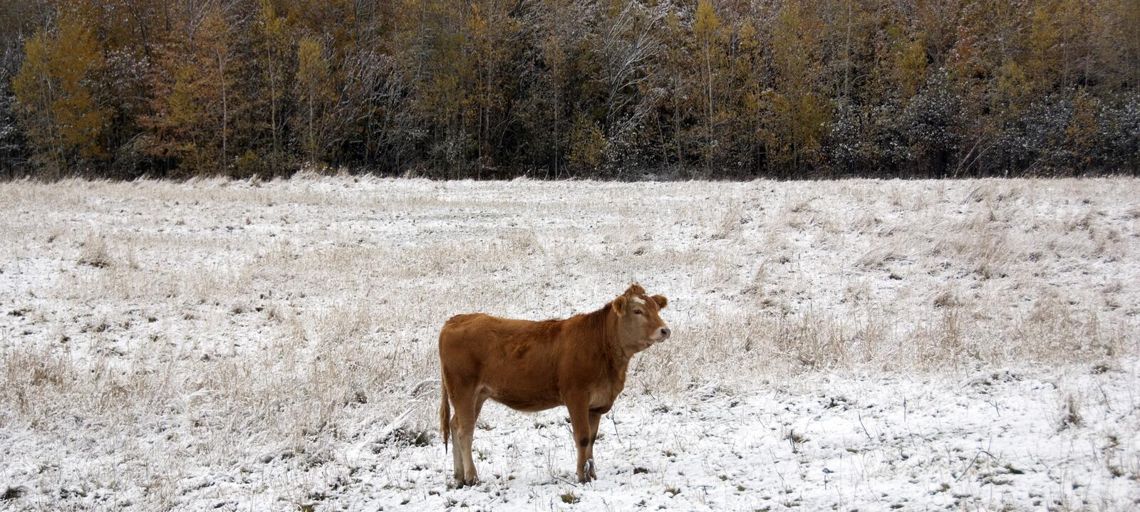Limousin cattle  in winter Quebec Canada. Limousin cattle are a breed of highly muscled beef cattle originating from the Limousin and Marche regions of France stock photo