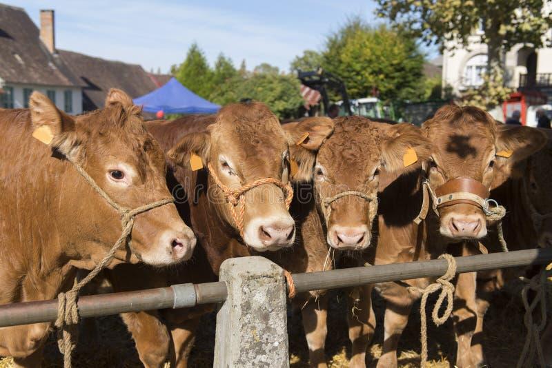Limousin kor på den franska marknaden royaltyfri foto