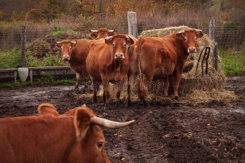 Limousin nötkreatur royaltyfri fotografi