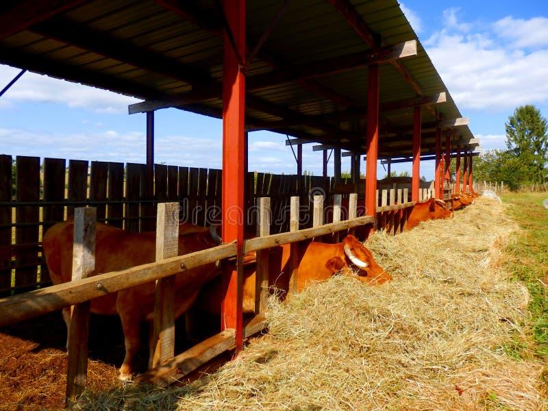Limousin-Vieh-Fütterung stockfotografie