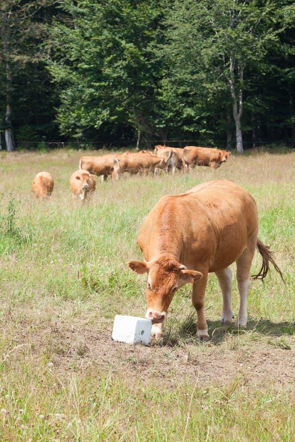 Limousin wołowiny krowa je solankowego liźnięcia kopalnego nadprogram obrazy stock