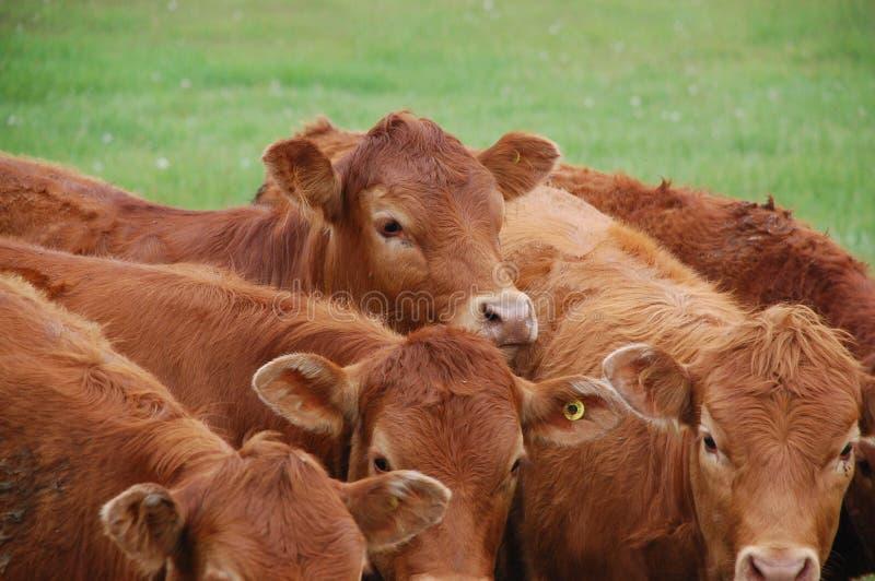 Limousine-Vieh-Herde lizenzfreie stockbilder