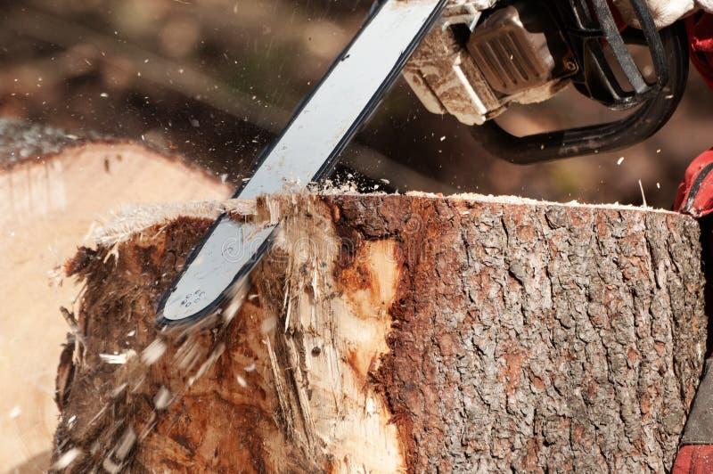 Limpando o coto de uma árvore do abeto vermelho com a serra de cadeia imagem de stock