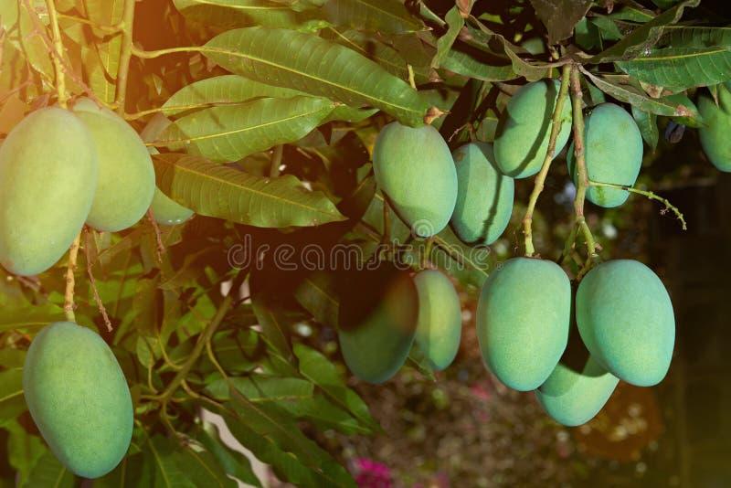 Limpe frutos verdes da manga na árvore fotografia de stock royalty free