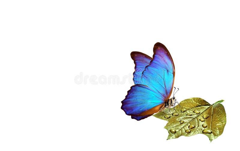 Limpe o conceito do ambiente Natureza pura borboleta azul do morpho que senta-se em uma folha dourada em gotas de água Copie espa imagem de stock royalty free