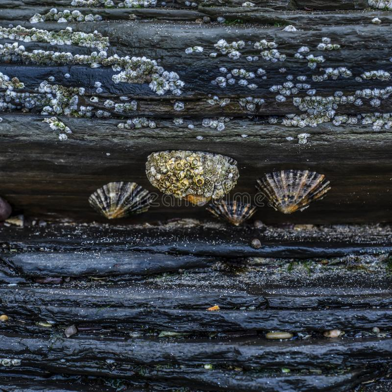 Limpets attached to slate rocks royalty free stock image
