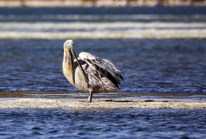 Limpeza Dalmatian do pelicano foto de stock royalty free