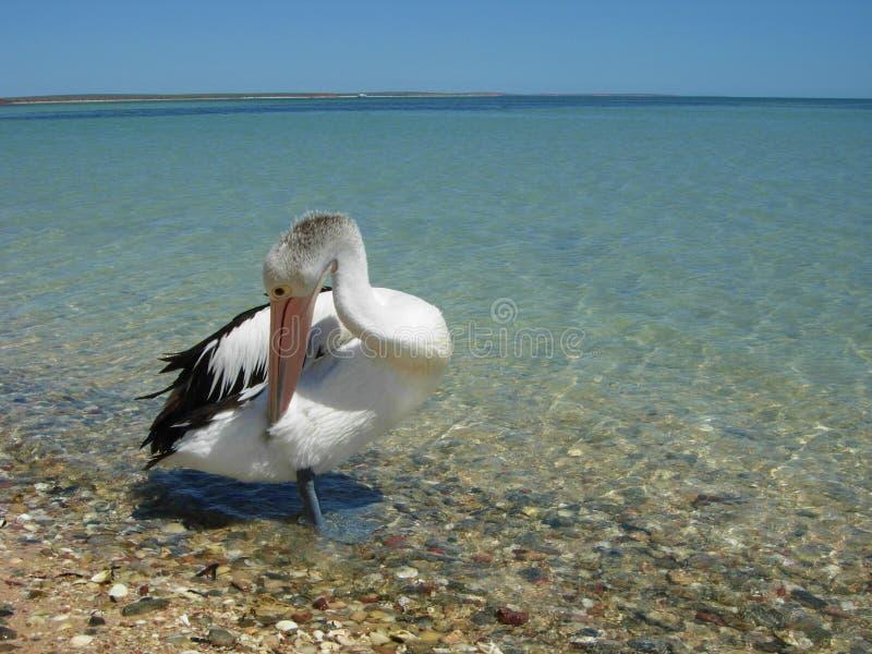 Limpeza do pelicano imagem de stock