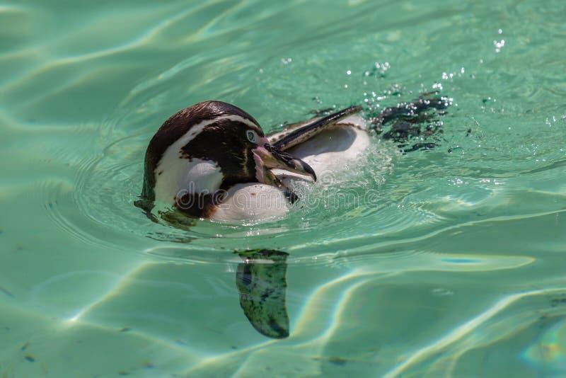 Limpeza do pinguim de Humbolt ao nadar fotografia de stock