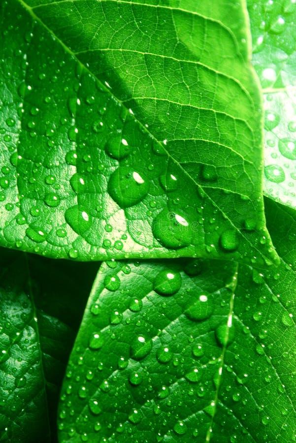Limpie las hojas verdes frescas imagen de archivo libre de regalías