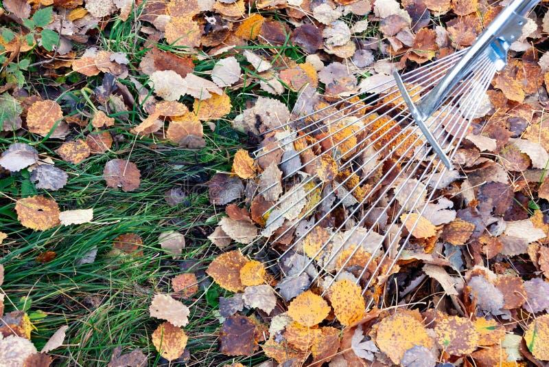 Limpieza de hojas caidas en el patio con los rastrillos de la fan imagen de archivo libre de regalías