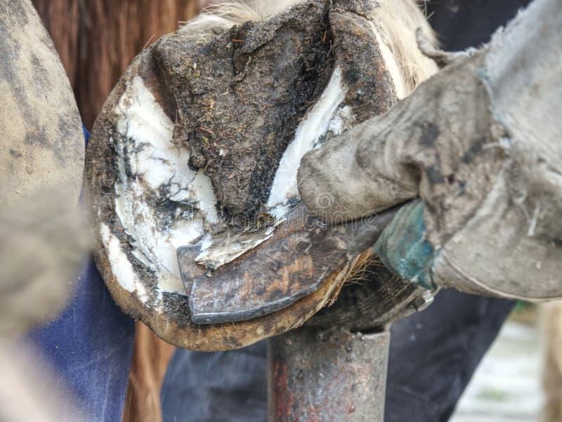 Limpieza del enganche del caballo Cuchillo del enganche del uso del herrero foto de archivo libre de regalías