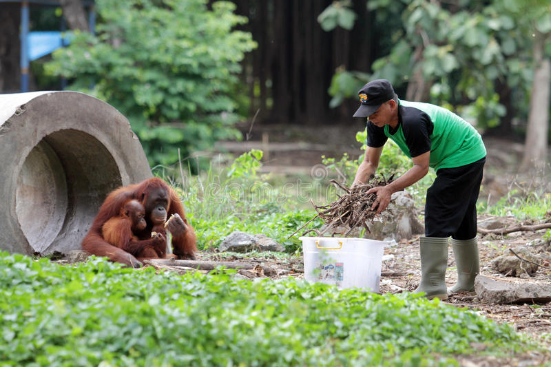 Limpieza del orangután de la jaula imágenes de archivo libres de regalías